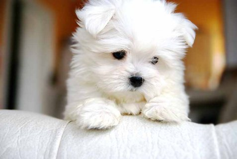 صور Marvelous Teacup Maltese Puppies For Adoption 1