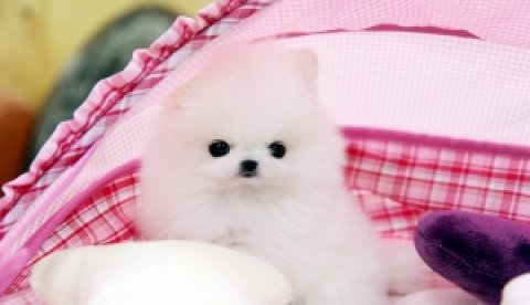 Adorable Pomeranian puppies for Adoption	Ok