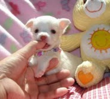 Little Chihuahua puppies for sale