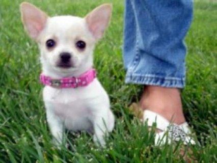 Good Looking Chihuahua Puppies