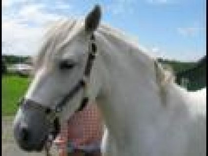 White Frisian Horse for sale