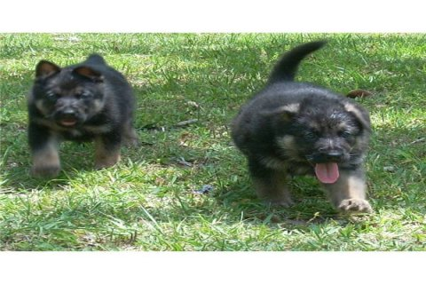 Two German shepherd puppies for adoption1223