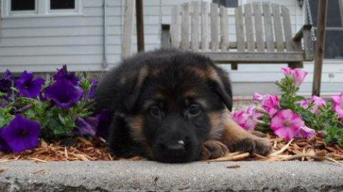 2 German Shepherd puppies for RehomingQ