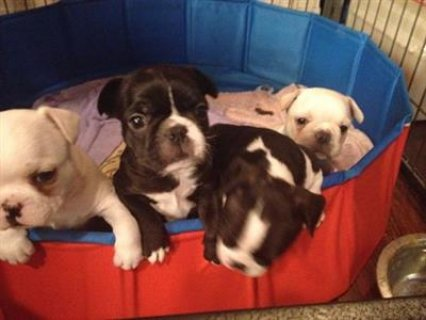 French bulldog puppies for sale2