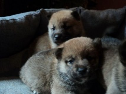 Super Shiba Inu Puppies for AdoptionS