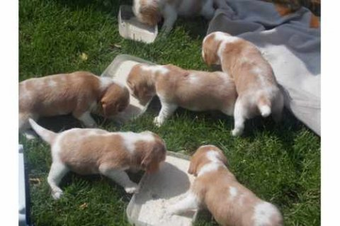Male and Female Beagle puppies for Adoption