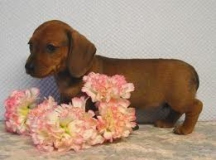 صور Well Trained Dachshund Puppies For Rehoming 1