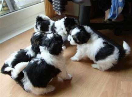 صور Adorable Shih Tzu Puppies for Adoption 1