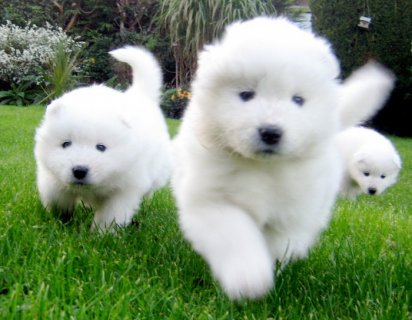 Samoyed Puppies for Adoption