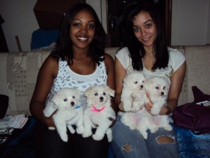 Well Trained Maltese Puppies