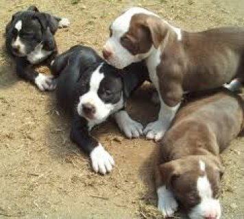 American Pit Bull Terrier puppies for sale