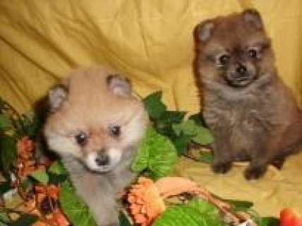Pomeranian Puppies for free Adoption