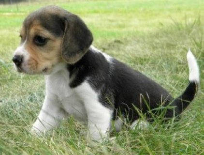 Beautiful Beagle puppies for free adoption