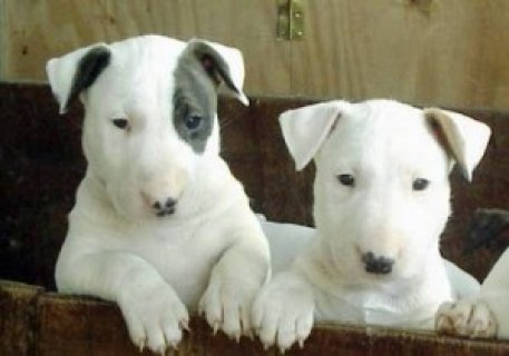صور Lovely Looking Bullterrier Puppies Ready Now 1