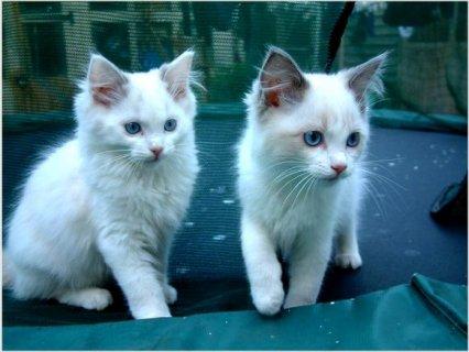 Beautiful Indoor Pedigree Ragdoll Kittens READY NOW