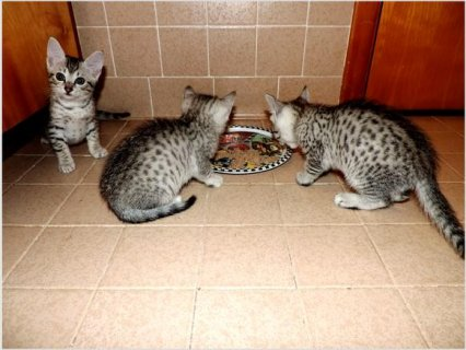 Egyptian Mau Kittens for sale