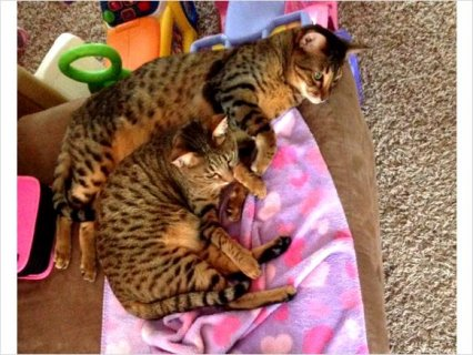 Savannah cats (brother & sister) F5 SBT breed For Sale
