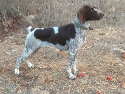 hunting Gsp dog for sale