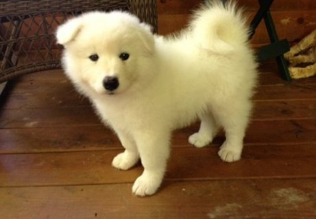 صور  Adorable Samoyed Puppies For Sale 1