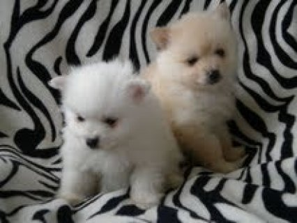 Micro Pomeranian Puppies for adoption for adoption