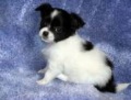 Adorable and very cuddly chihuahua puppies 4 adoption