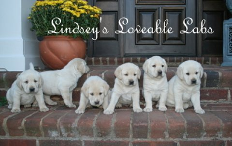 LABRADOR RETRIEVER PUPPIES ENGLISH