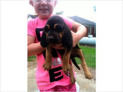 Akc registered Bloodhound puppies