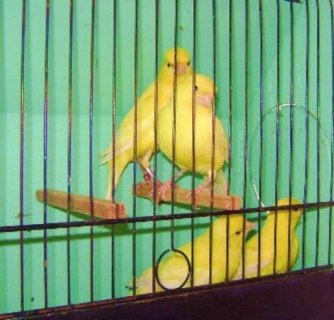 صور Canaries Birds For Sale 1