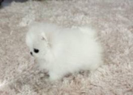 صور White Teacup Pom Puppies For Rehoming 1
