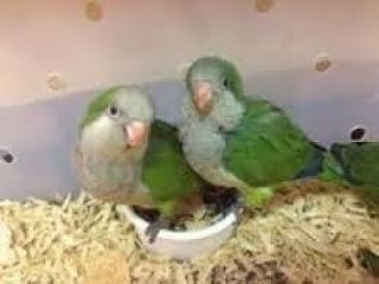 Baby Hand Reared Quaker Parrots For Sale