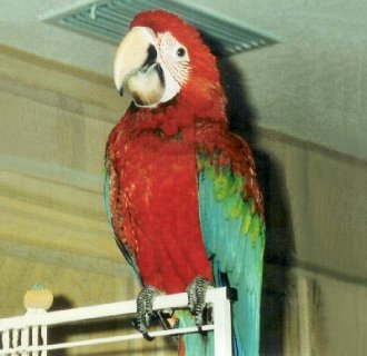 Red Baby Macaw Parrots