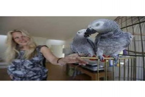 TALKING PARROTS AFRICAN GREY