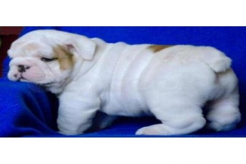 صور ENGLISH BULL DOG PUPPIES FOR SALE 11 WEEKS OLD 1