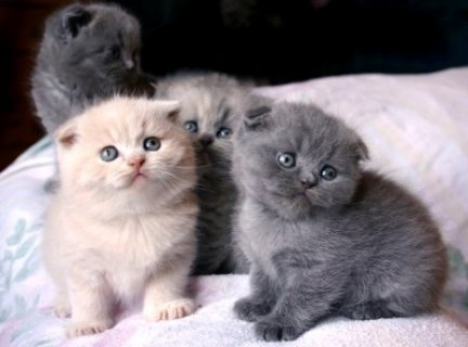 Male and Female Scottish Fold Kittens For Rehoming