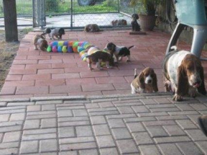 Basset Hound Puppies For Sale1