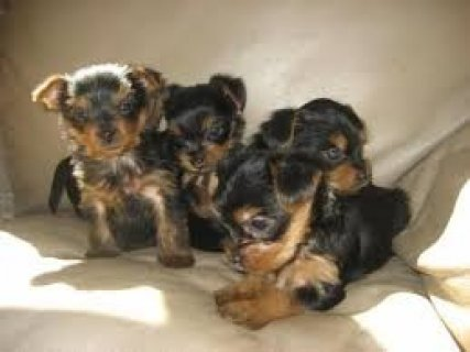 Top Quality Male and Female Yorkshire Terrier Pups For Sale