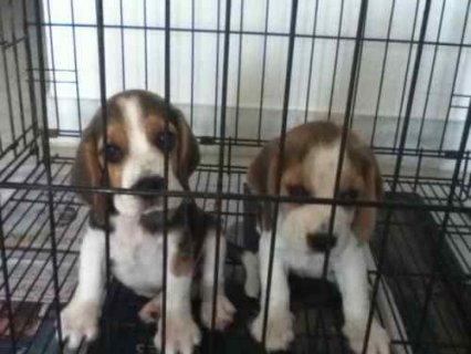 Beagle Puppies Ready for new forever families. .Registered trico