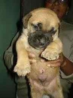 Amazing Bull Mastiff Puppies Puppies