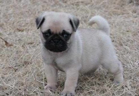 GIFT Pug PUPPIES IN THIS new year