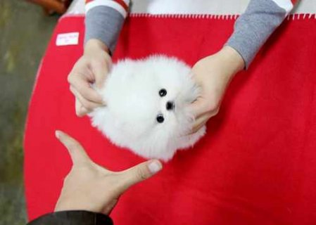 Exelent and beautiful male and female teacup pomeranian puppies