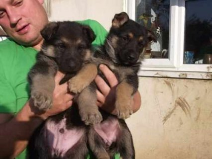 Nice German Shepherd puppies for sale