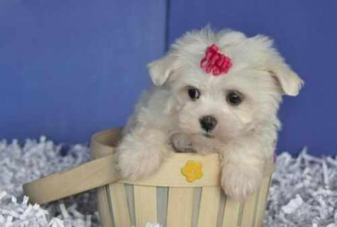 Precious little maltese Puppy for Sale