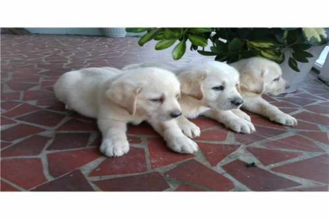 Male and Female Labrador Retriever For Good Rehoming Now