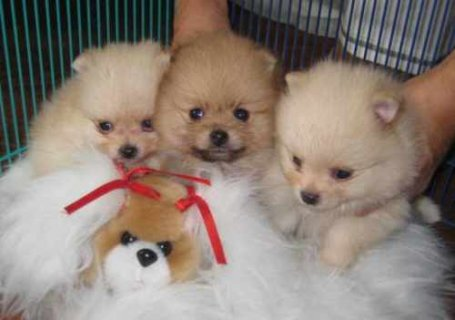 Teacup Toy Pomeranian Puppies