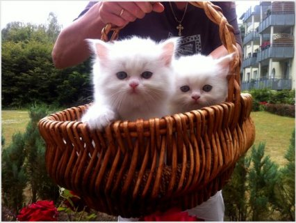 صور Beautiful White Persian kittens for Rehoming 1