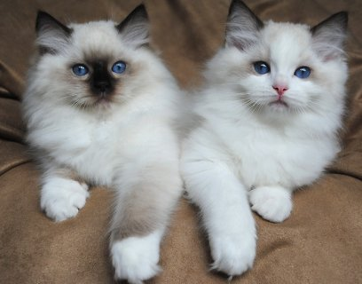 Ragdoll Kittens for Rehoming