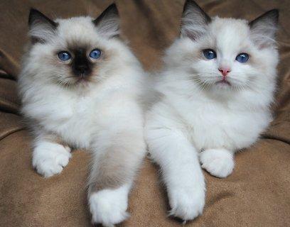 Ragdoll Kittens for Rehoming