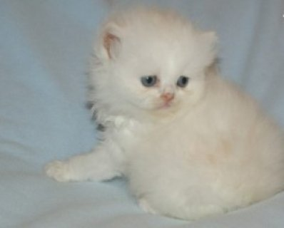 Good Homes Persian Brother and Sister Available