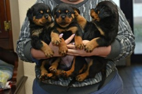 Rottweiler puppies For Rehoming
