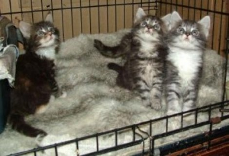 Maine Coon Kittens for Adoption